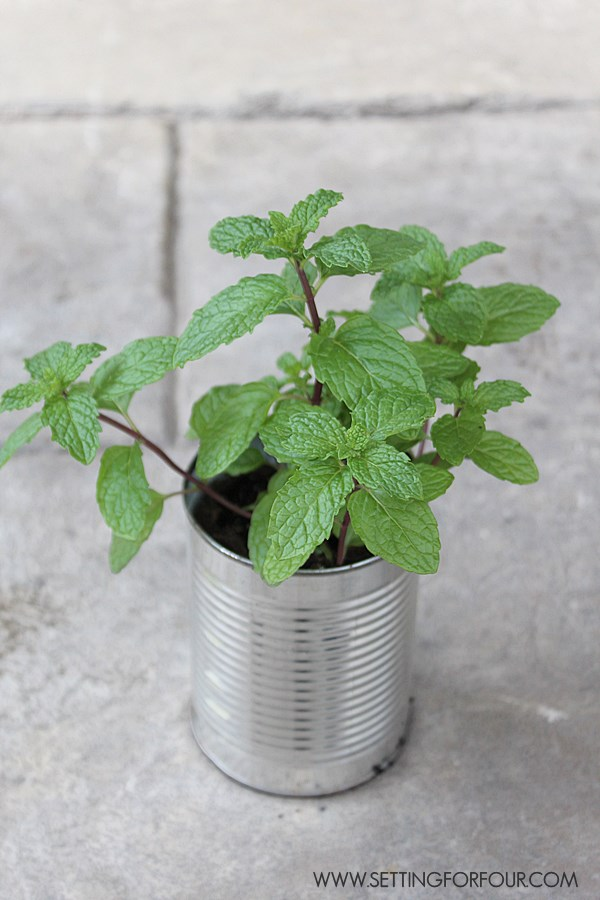 How to Plant and Tame Invasive Mint! See this easy tip!