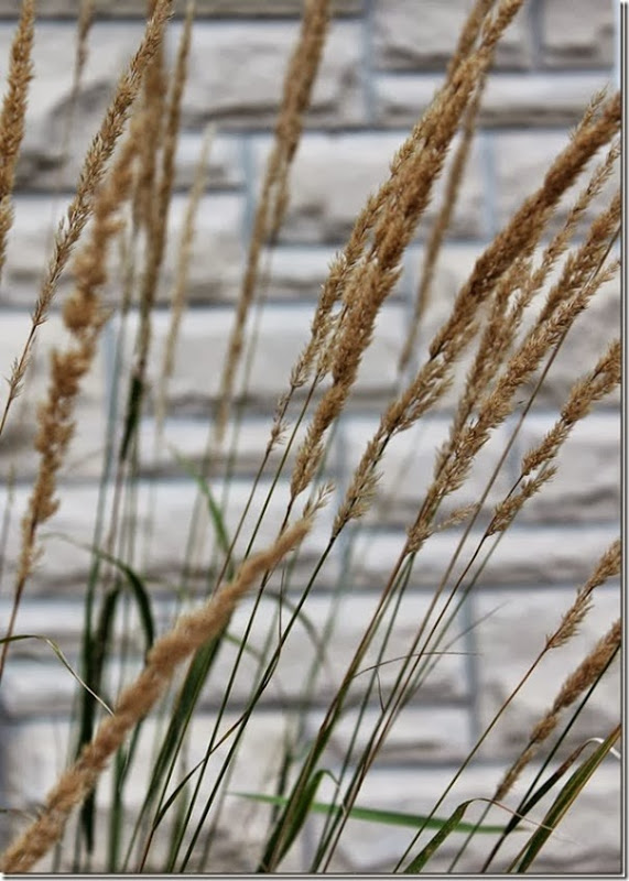 Ornamental Grass  in Front Garden Setting for Four