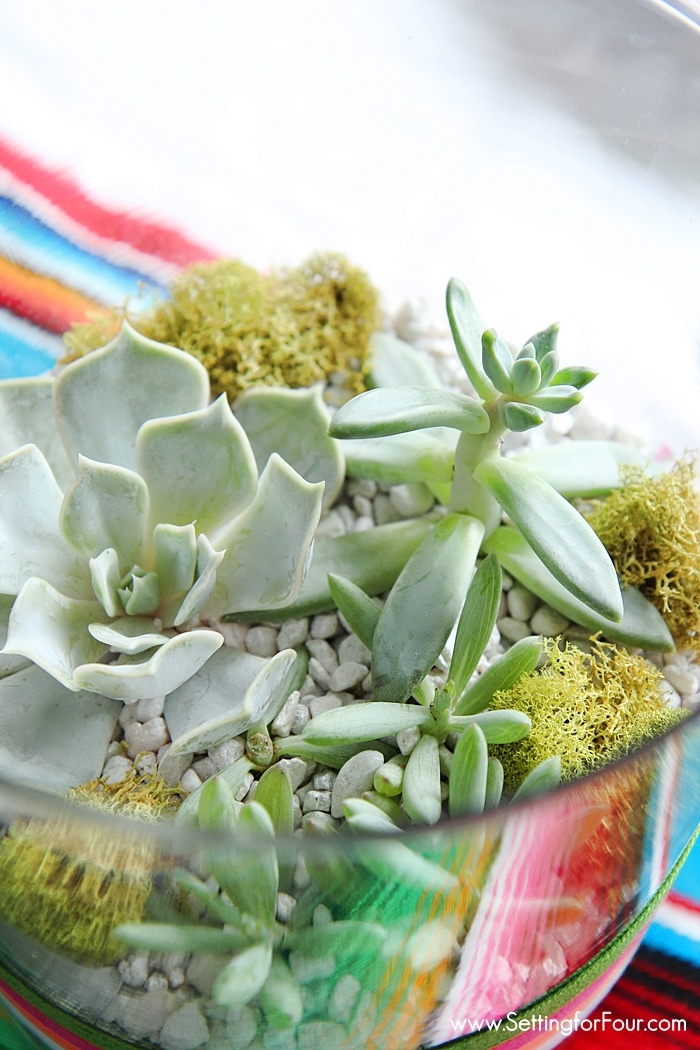 Make this FUN brightly colored DIY Succulent Terrarium to celebrate Cinqo de Mayo! GORGEOUS festive table centerpiece or coffee table decor for your Mexican fiesta party! www.settingforfour.com