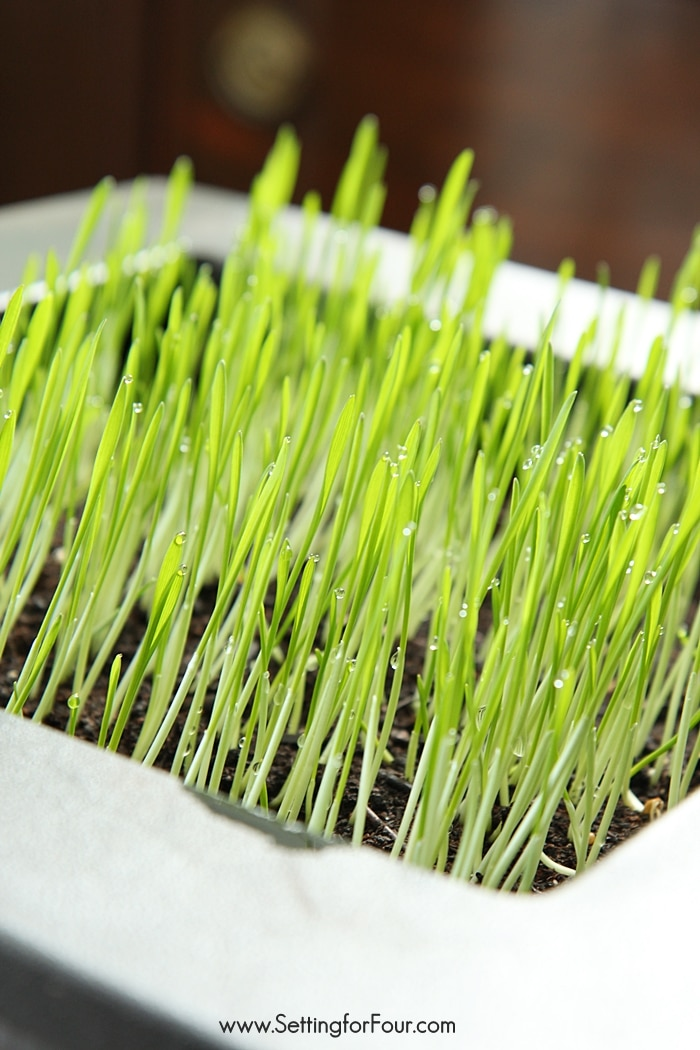How to Grow Wheatgrass seeds in 3 easy steps! For healthy juice and smoothies, for your cats, for Spring and Easter decor. www.settingforfour.com