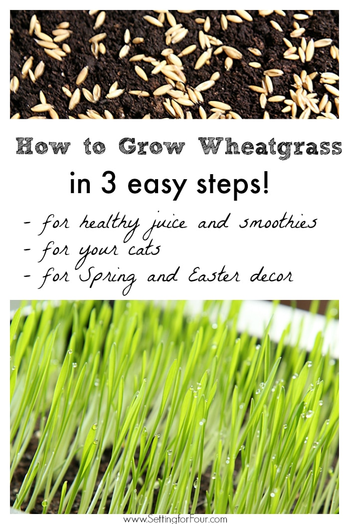 How to Grow Wheatgrass in 3 easy steps! For healthy juice and smoothies, for your cats, for Spring and Easter decor. www.settingforfour.com