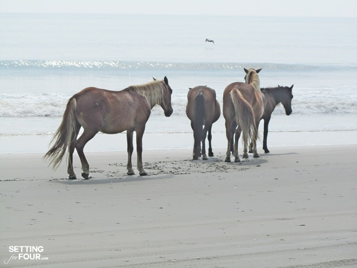 Wild horses of Corolla and beaches of North Carolina