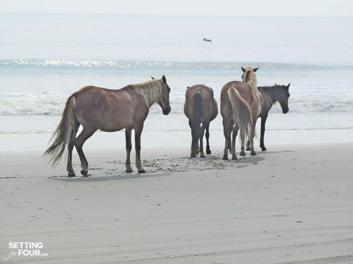 Wild horses of Corolla and beaches of North Carolina
