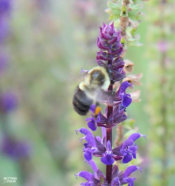 Bumblebees love purple veronica flowers!