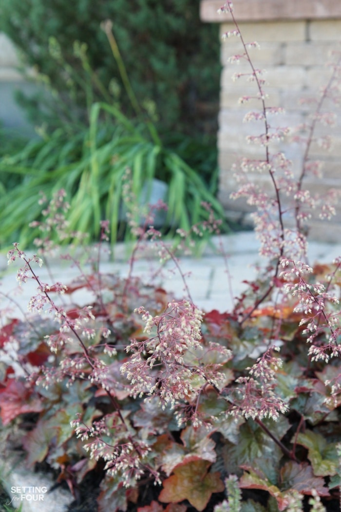Coral Bells - the bees and butterflies love this plant