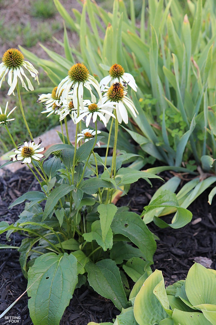 White Coneflower - a sun loving, drought tolerant plant. The bees and butterflies love it!