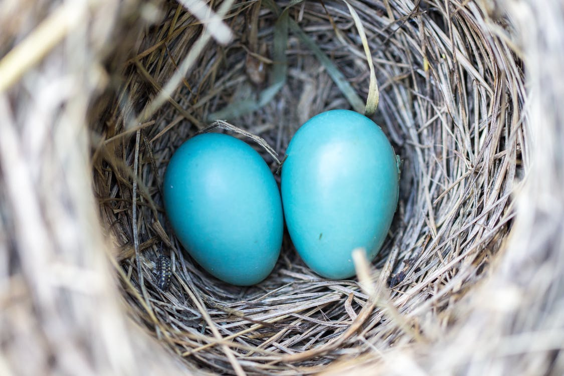 Blue Robin's eggs in a nest - Spring photography