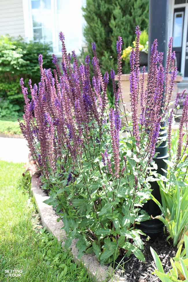 See how to use Purple salvia- a beautiful flowering perennial plant - to landscape around a lamp post to beautify the front of the home.