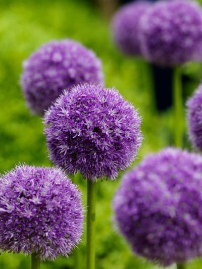 How to add Pantone Color of the Year 2018 Ultra Violet to your home with plants and flowers! Purple Plant Color ideas for your garden, landscape ideas and indoor plant ideas.