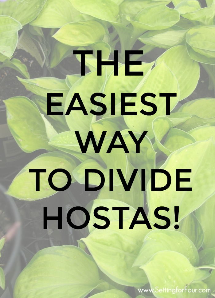 Hosta plant graphic with overlay text to show how to divide hostas.