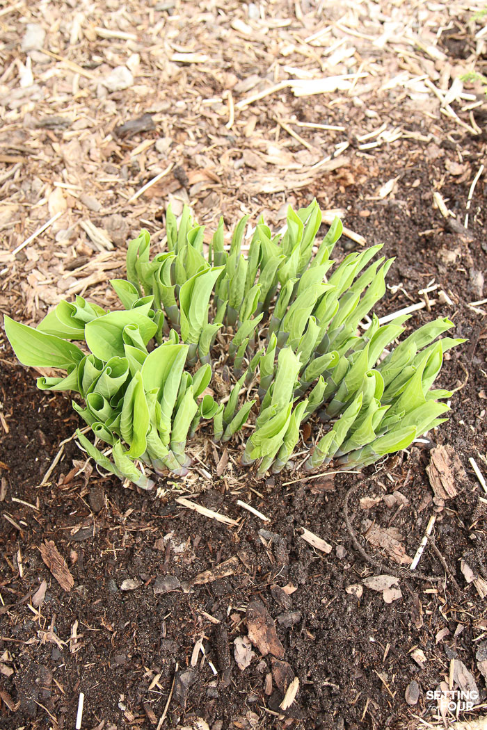 Hosta plant that has been divided.