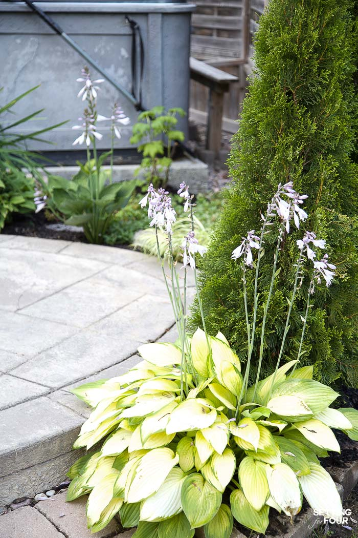 Bright green hosta plant by a patio.