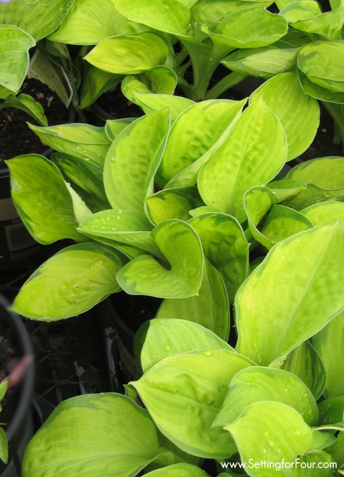 Lime green hosta plants in a garden.