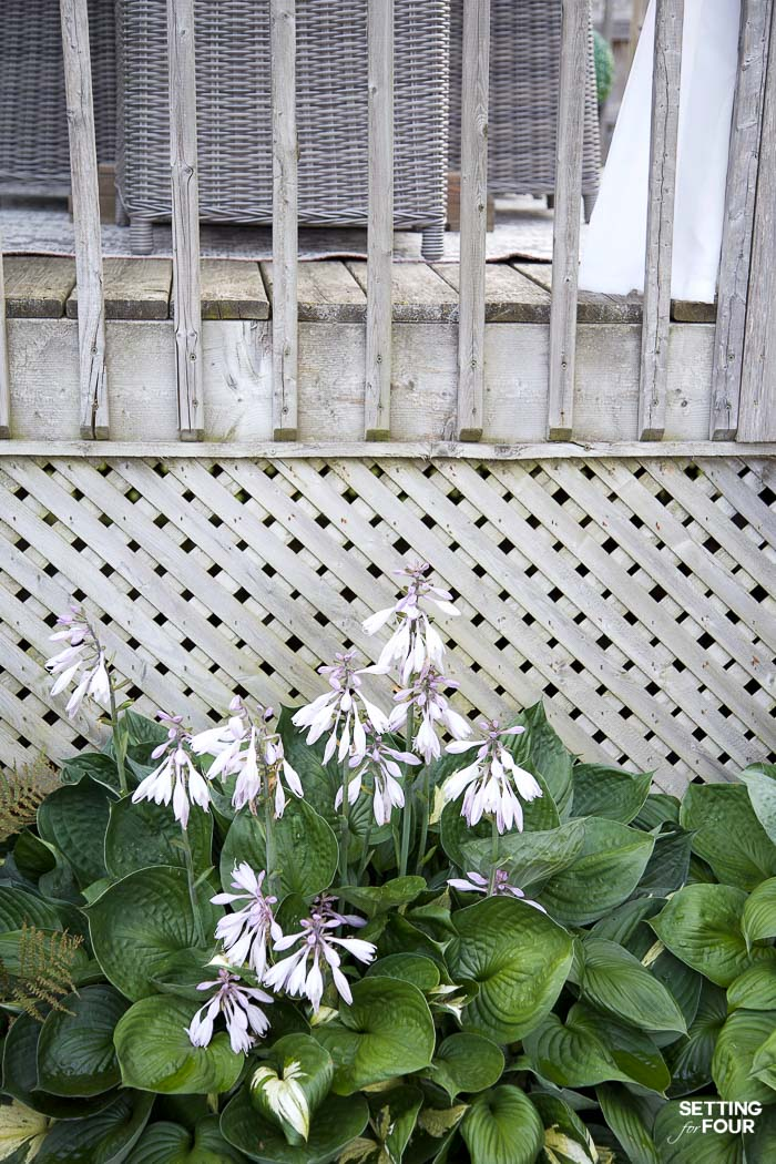 Full sun flowering hostas disguise wood lattice on a deck.